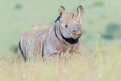 Black Rhinoceros Portrait, Nairobi National Park, Kenya. Portrait of a wounded Black Rhino standing in tall grassy savanna in Nairobi National Park, Kenya royalty free stock images