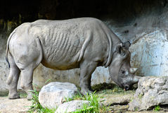 Black Rhinoceros Showing His Glory Stock Photo