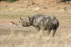 Black Rhinoceros. In Southern African savanna royalty free stock photography