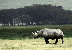 Black Rhinoceros, Tanzania Stock Photos