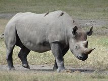 Black rhinoceros walking on Africa savannah facing right stock photo