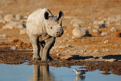 Black rhinoceros at a waterhole Royalty Free Stock Images