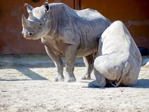 Black rhinoceros in zoo. Big rhinocero and baby lying on the ground under the mother in zoo, Tallinn, Estonia. Big horned rhino. Warm colors. Copy space for stock photography