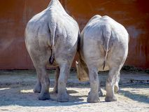 Black rhinoceros in zoo. Big rhinocero and baby in zoo, Tallinn, Estonia. Big horned rhino. Warm colors. Copy space for wallpaper, deskto. Mom and cub. The royalty free stock photography