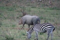 A Black RhinocerosDiceros BicornisFaru or Kifaru and Burchells Zebra Equus Burchells Punda Milia. royalty free stock photos