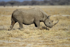 Black Rhinocerus Royalty Free Stock Photo