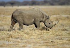 Black Rhinocerus. Walking in open field; Diceros bicornis royalty free stock photo