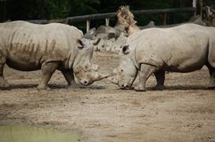 Black Rhinos Royalty Free Stock Image
