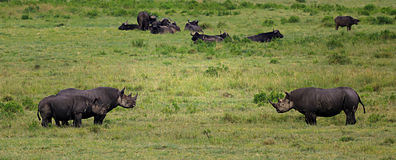 Black rhinos. With its baby stock images