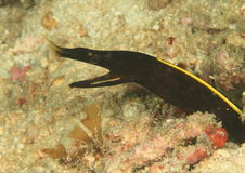Black ribbon eel - juvenile. (rhinomuraena quaesita) fish watching out from it´s hole in sand with opened mouth - Komodo national park, Flores, Indonesia Stock Photos
