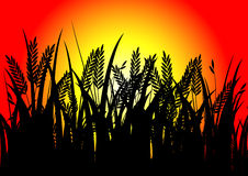 Black rice and sunset Royalty Free Stock Image