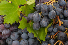 Black ripe grape Stock Images