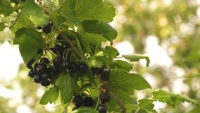 Black ripe juicy currants in the garden, a large sweet currant berry. Harvest blackcurrants. tasty berry on the branch stock video footage