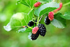 Black ripe and red unripe mulberries on the branch Stock Image