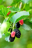 Black ripe and red unripe mulberries on the branch Stock Photo
