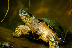 Black River Turtle. Costa Rican Black River Turtle Emerging from Pond stock photography
