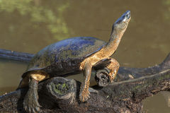 Black river turtle Stock Image