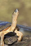 Black river turtle Royalty Free Stock Photo