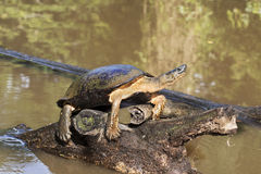 Black river turtle. Rhinoclemmys funerea, Tortuguero national park, Costa Rica stock images