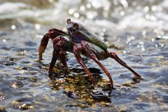 Black rock crab Stock Images