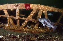 Black Rock Fish Stock Images