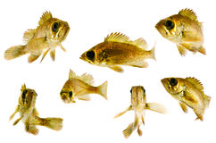 Black rockfish Royalty Free Stock Image