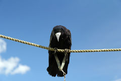 Black rook. Sitting on a rope Stock Image