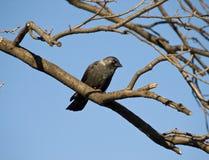 Black rook. On the tree Stock Photo