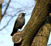 Black rook. On a tree Royalty Free Stock Images