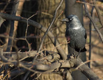 Black rook. In tree branches Royalty Free Stock Image