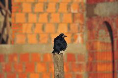 Black rook on the ground Stock Photography