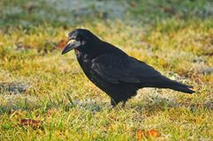 Black rook on the ground Royalty Free Stock Photo