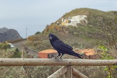 Black rook is sitting on the fence Royalty Free Stock Photo