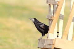 Black rook on wood structure Stock Image