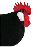 Black Rooster Royalty Free Stock Photo