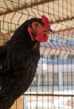 Black rooster head. Royalty Free Stock Photo
