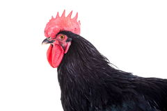 Black rooster on white Royalty Free Stock Images