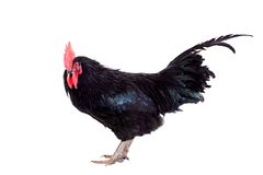 Black rooster on white Royalty Free Stock Photo