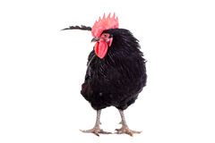 Black rooster on white Stock Photos