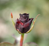 Black rose. Bud of a black rose Stock Image