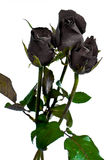 Black rose Royalty Free Stock Image
