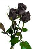 Black rose royalty free stock image