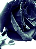Black rose 2 Royalty Free Stock Image
