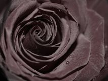 Black rose. In close up - perfect background Royalty Free Stock Photography