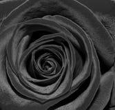 Black Rose. Beautiful black rose with velevety petals Stock Photo