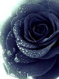 Black rose. With water drops Stock Images