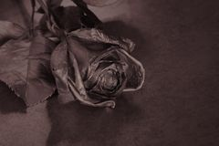 Black Rose. Concept, symbol of sorrow, melancholy and sad mood. Depression, farewell and love. St. Valentine& x27;s Day Royalty Free Stock Photos