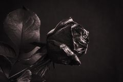 Black Rose. Concept, symbol of sorrow, melancholy and sad mood. Depression, farewell and love. St. Valentine& x27;s Day Royalty Free Stock Images