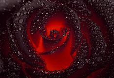 Black rose with a luminous red center. And velvet petals covered with large drops of water royalty free stock images