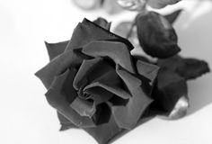 Black Rose Stock Photos